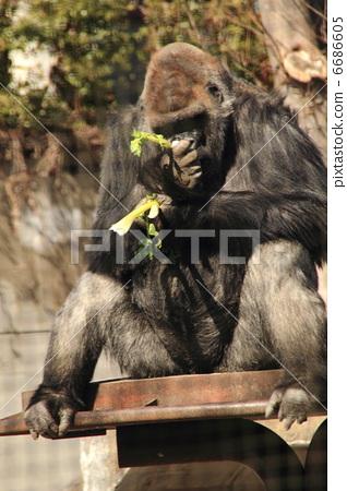 大猩猩 动物 哺乳动物
