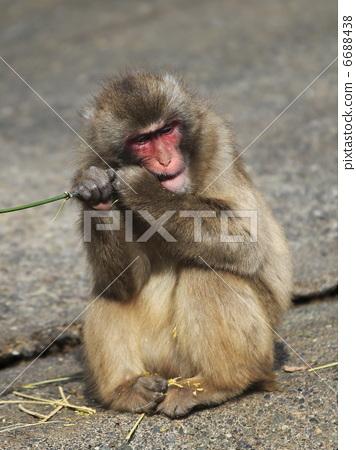 图库照片: 日本猕猴 猴子 陆生动物
