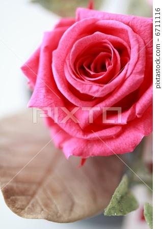 图库照片: 玫瑰花 可爱 美丽