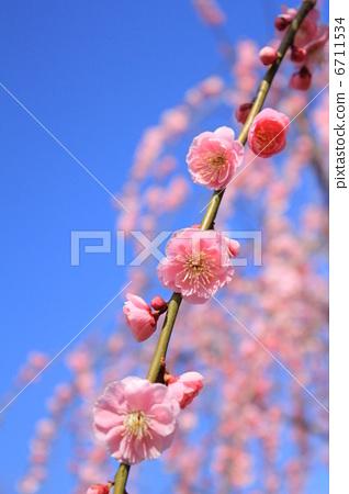 疾病 花粉过敏 日本杏花 一朵梅花 日本梅子  *pixta限定素材仅在