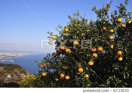 图库照片: 桔子 橘子 橘子树