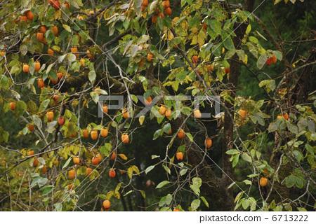 柿子树 水果 日本柿