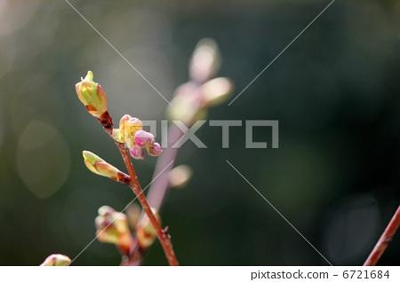 花蕾 樱桃树 发芽