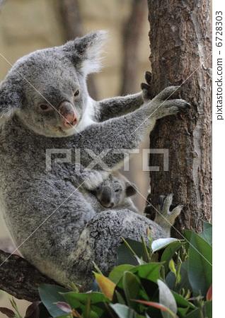 照片: 考拉 有袋类动物 动物宝宝