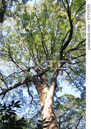 榆科 落叶树