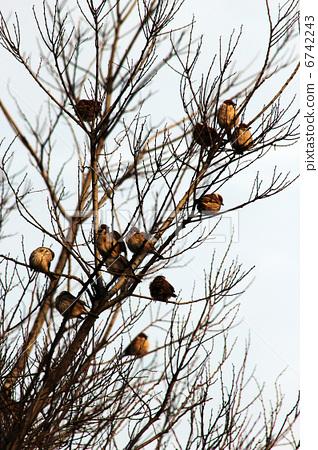 首页 照片 动物_鸟儿 鸟儿 小鸟 麻雀 分支 树枝  *pixta限定素材仅在