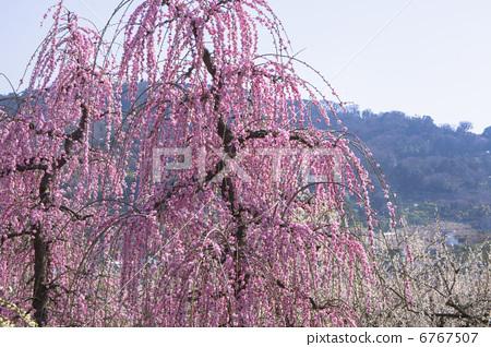 李子 树枝低垂的李树 开花
