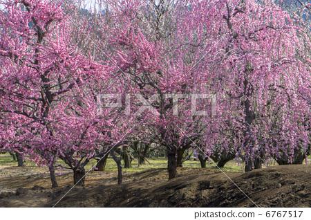 树枝低垂的李树 开花 花朵