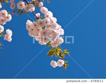 首页 照片 植物_花 樱花 樱花 重瓣樱树 花朵 花卉  *pixta限定素材仅