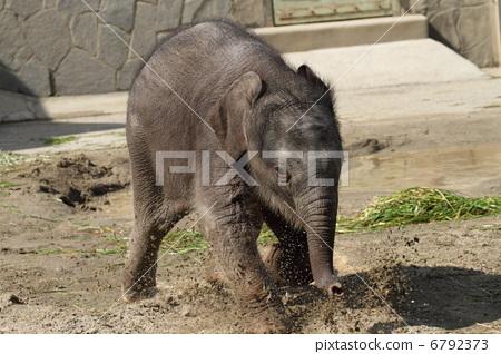 图库照片: 亚洲象 陆生动物 东山动物园