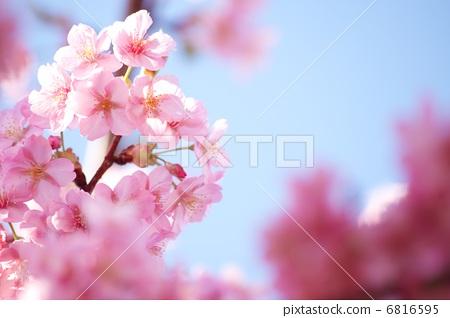 照片: 樱花 河津樱 樱桃树
