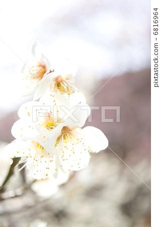 照片 植物_花 梅花 梅花 日本杏花 一朵梅花 白梅花  *pixta限定素材