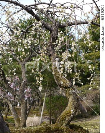 树枝低垂的李树 白梅花 兼六园