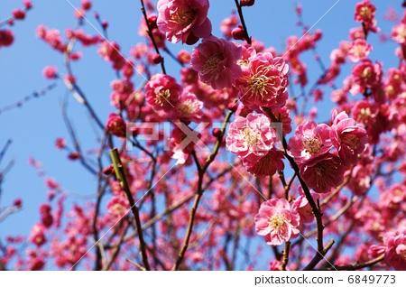 图库照片: 春天的材料·红梅花的花朵·蓝天背面的侧面位置