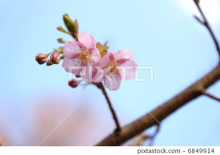 照片 植物_花 梅花 梅花 日本梅子 梅花 日本杏树  *pixta限定素材仅