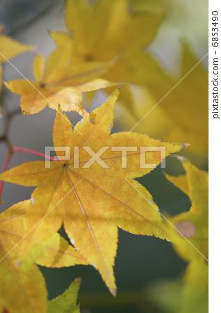 树叶 银杏叶 黄叶-图库照片