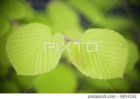 图库照片: 蜡瓣花 树叶 叶子