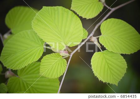 叶子 蜡瓣花 树叶