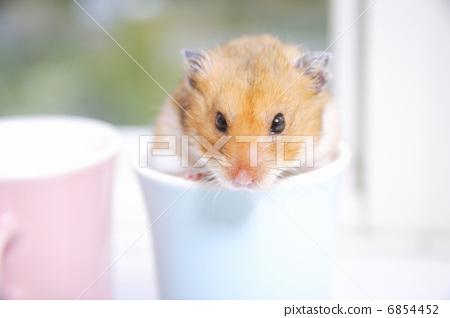照片: 动物 金仓鼠 动物宝宝