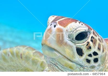 照片: 乌龟 红海龟 海龟