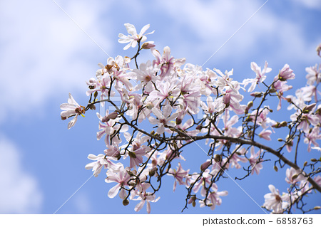 星玉兰 春天花园 春天