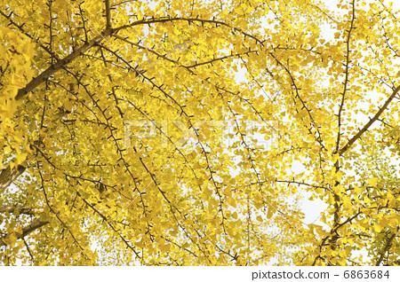 秋叶 银杏叶 银杏树
