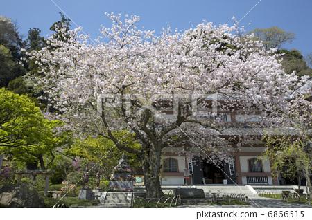 樱花 长谷寺 樱桃树