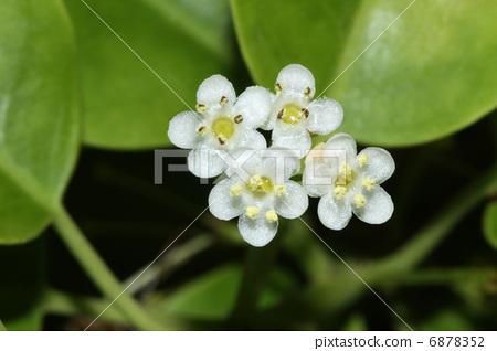 花朵 具柄冬青 花