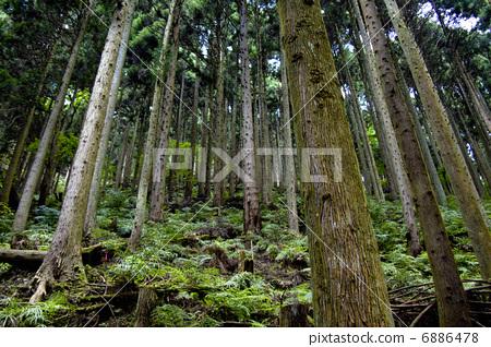 树木 日本柳杉灌木丛 树