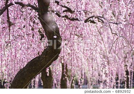日本梅子 树枝低垂的李树 梅花