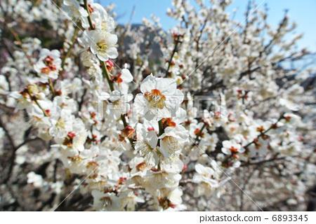 图库照片: 日本杏花 一朵梅花 桃李园