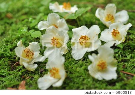 花卉 高大的折柄茶属