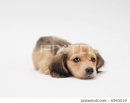 照片: 小狗 一只小动物 放松