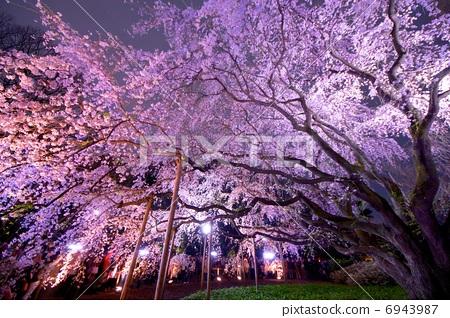 樱花 夜晚的樱花树 樱桃树