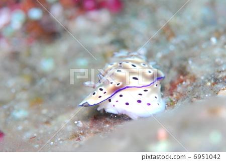 图库照片: 铜斑多彩海蛞蝓 海参 岛尻郡