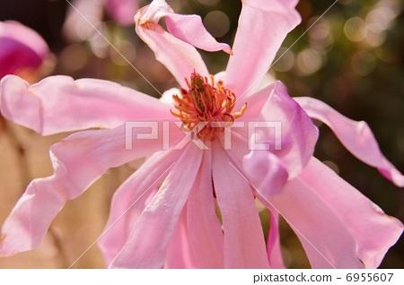 图库照片: 星玉兰 浅粉色 花的素材