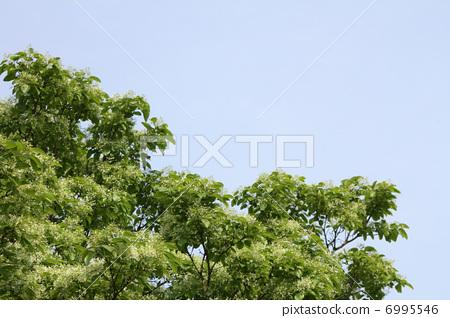 中国流苏树 雪花树 木犀科(植物种类)