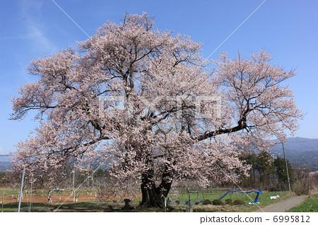 照片素材(图片): 江户彼岸樱树 樱花 樱