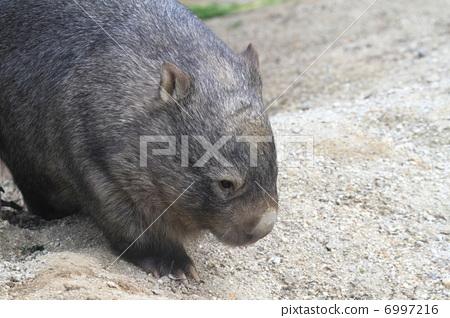 澳大利亚 照片 袋熊 东山动物园 有袋类动物 首页 照片 世界风景 大洋