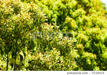 图库照片: 樟树叶图片