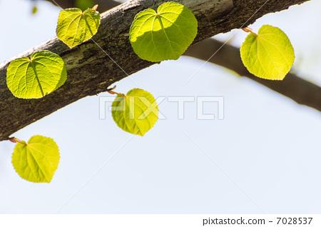 照片素材(图片): 桂树 连香树 叶