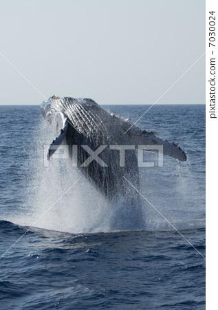 鲸鱼 座头鲸 卡拉马_乐乐简笔画