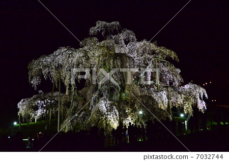 夜晚的樱花树 三春滝桜 树枝低垂的樱花树