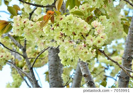 郁金樱盛开 樱花 樱桃树