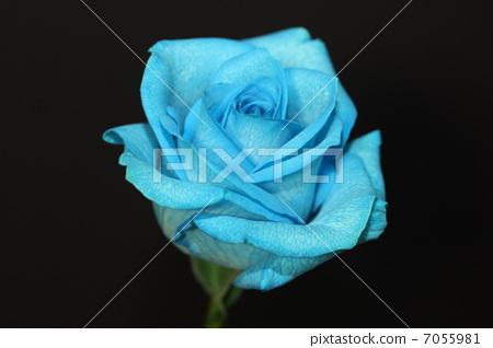 花朵 蓝玫瑰 开花