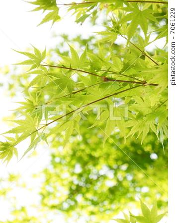 树叶 银杏叶 翠绿