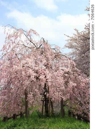 树枝低垂的樱花树 假买家 樱花
