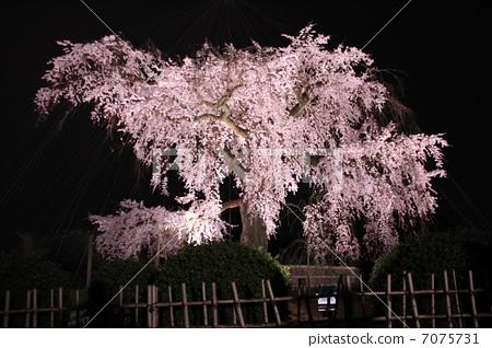 树枝低垂的樱花树 夜晚的樱花树 京都