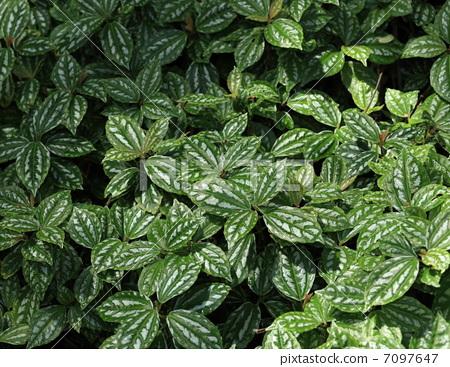 室内盆栽 观叶植物 荨麻