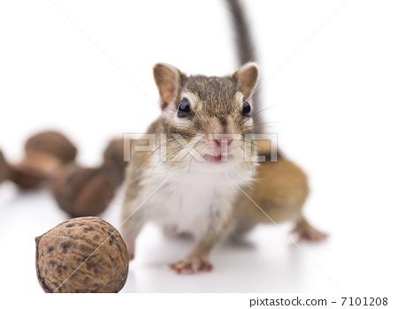 宠物 花鼠 松鼠